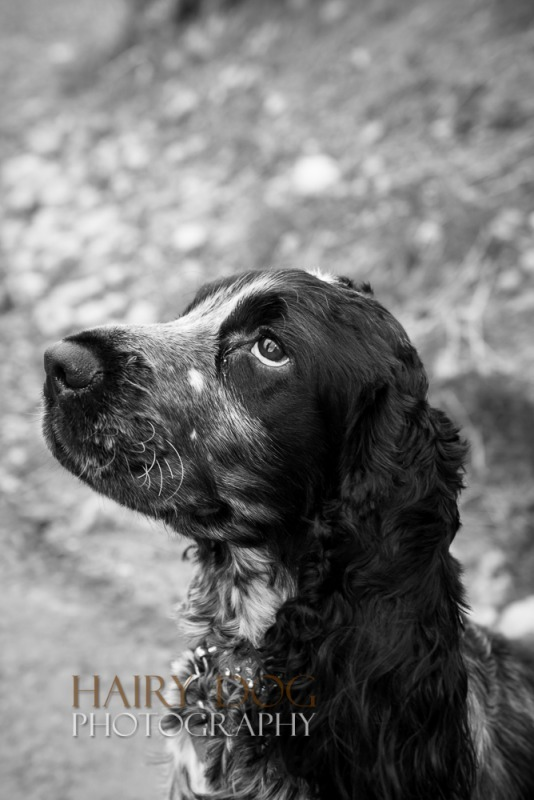 oscar-5 - Oscar the Spaniel's Photographs