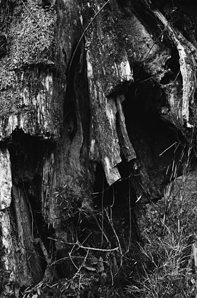 Old Trees (Mt Alishan) #6 - Selected Images