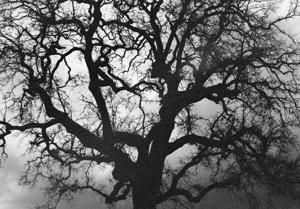 Tree (Napa Valley) #2 - Selected Images