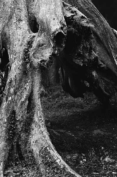 Old Trees (Mt Alishan) #5 - Selected Images