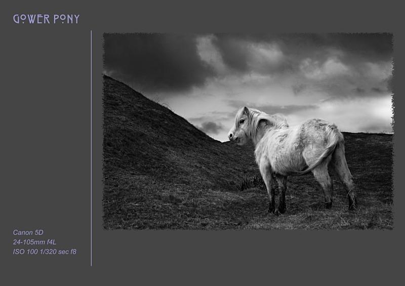 gower pony - Fine Art & Still Life