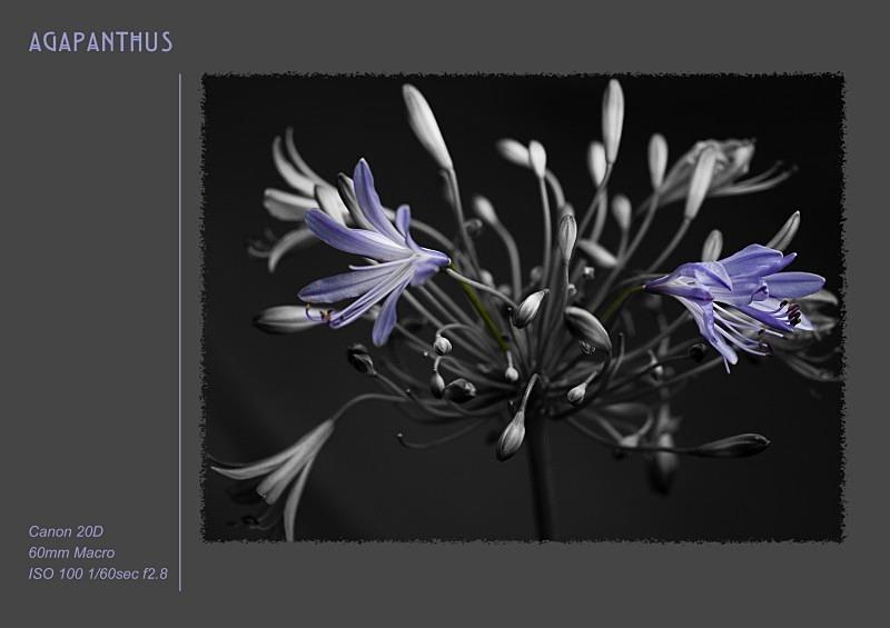 agapanthus - Fine Art & Still Life
