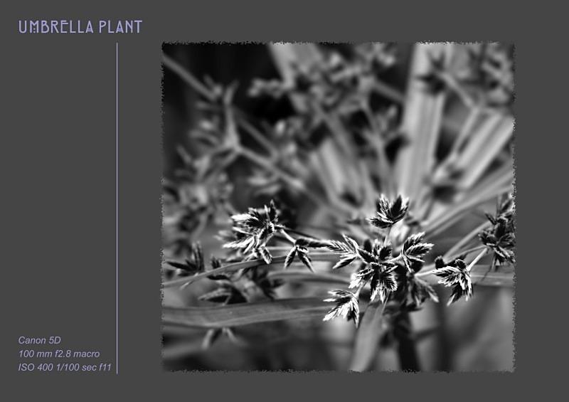 umbreea plant - Fine Art & Still Life