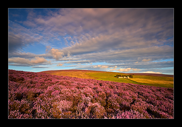 Moorland Heather - The North West.