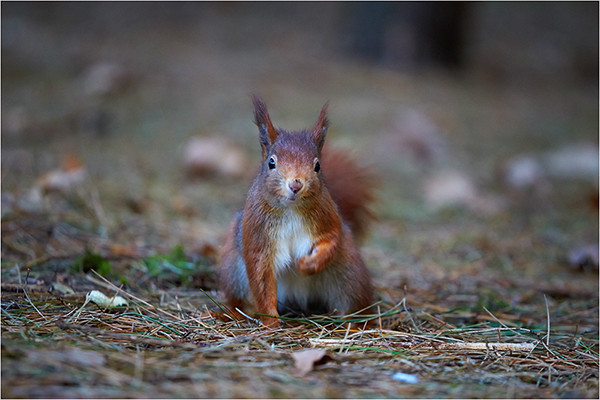 Red III - Red Squirrels