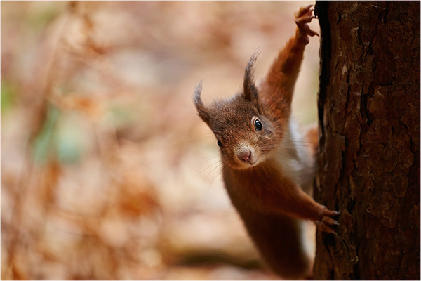 Formby Red - Red Squirrels