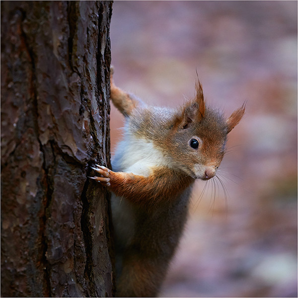 The Lookout - Red Squirrels