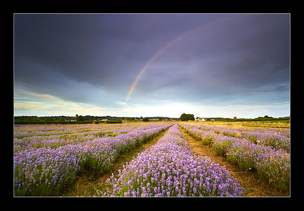 Lavender Rainbow - The North West.