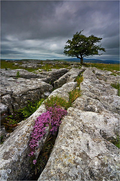 Winskill Pinks - Yorkshire