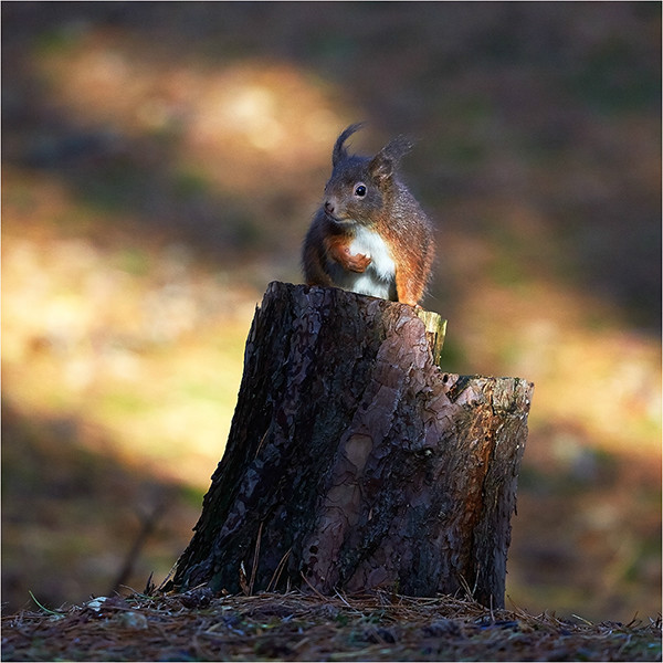 Red II - Red Squirrels