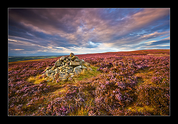 Purple Heather - The North West.