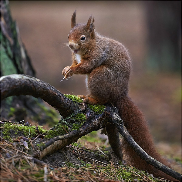 Red - Red Squirrels