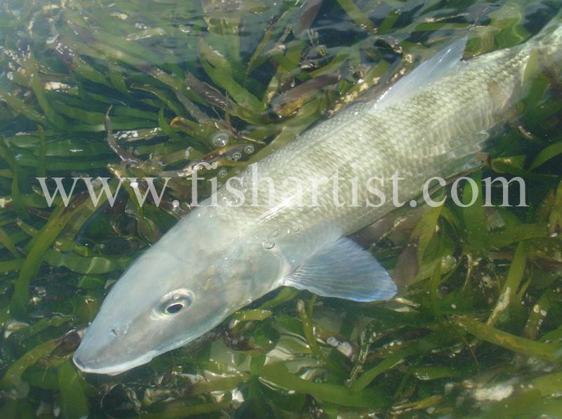 Bonefish Photo - Seagrass Treasure. - Bonefish & Tarpon.