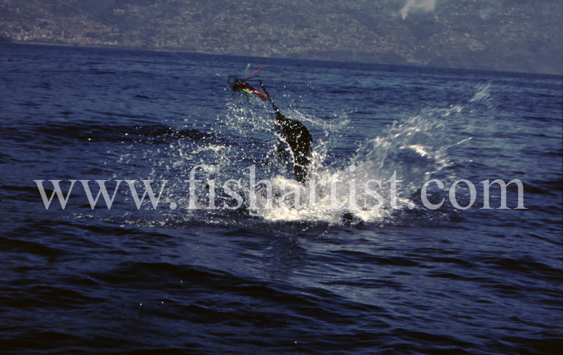 Leaping Blue Marlin. - Marlin Fishing.