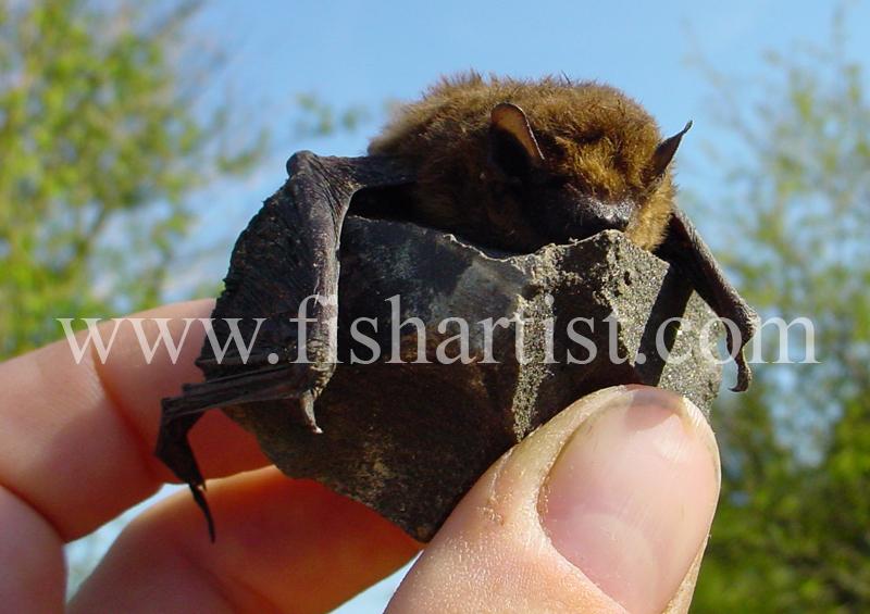 A Somerset Bat. - Eyes of a Fisherman.