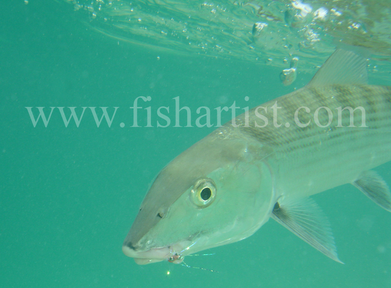 Bonefish Photo - Bubbles in the Blue. - Bonefish & Tarpon.