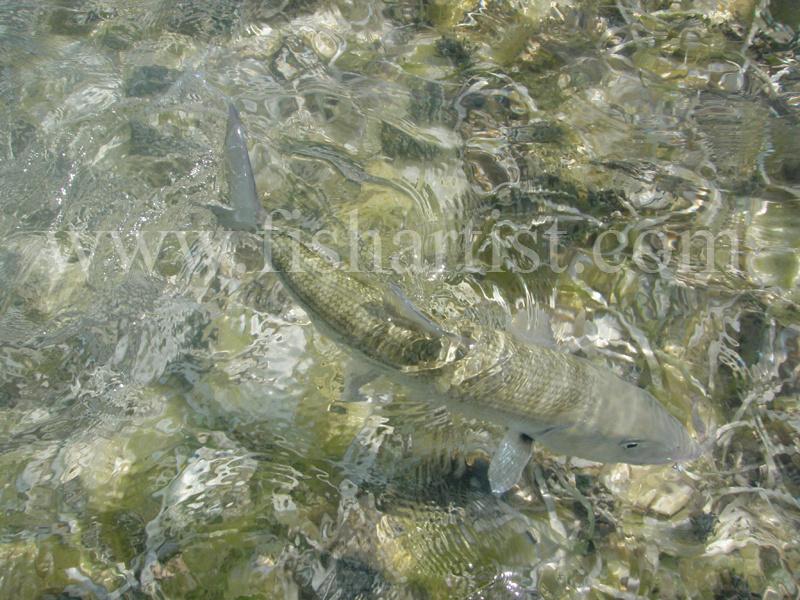Bonefish Release 2010. - Bonefishing 2010.