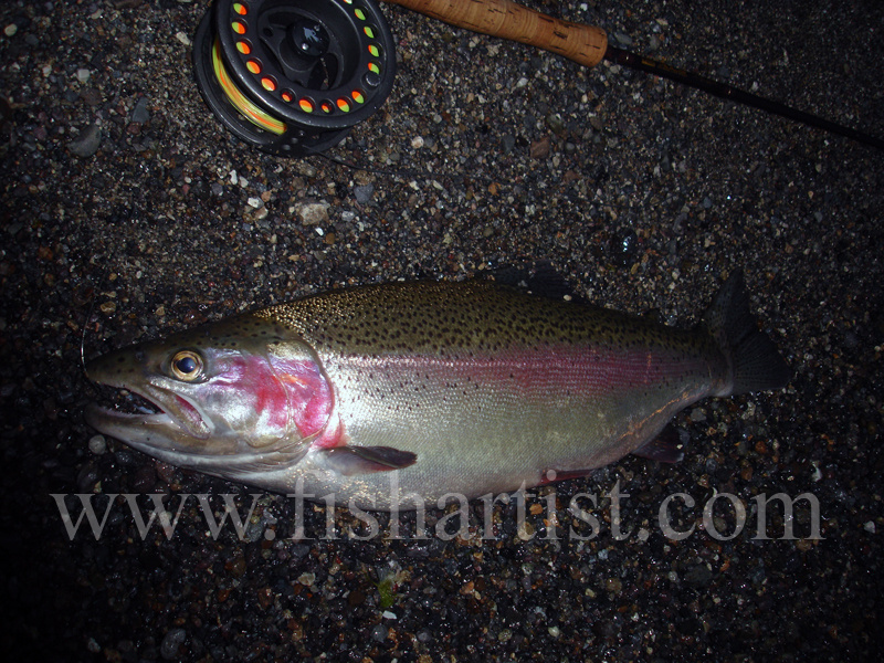 A Fat Jack Ready To Run. - Trout Fishing - Taupo New Zealand.