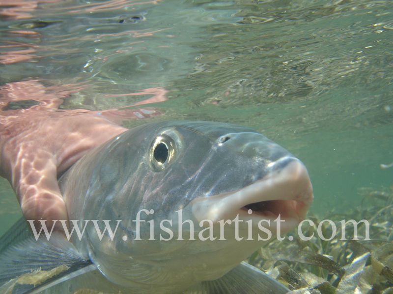 Bonefish Photo - Held Bonefish Head On. - Bonefish & Tarpon.