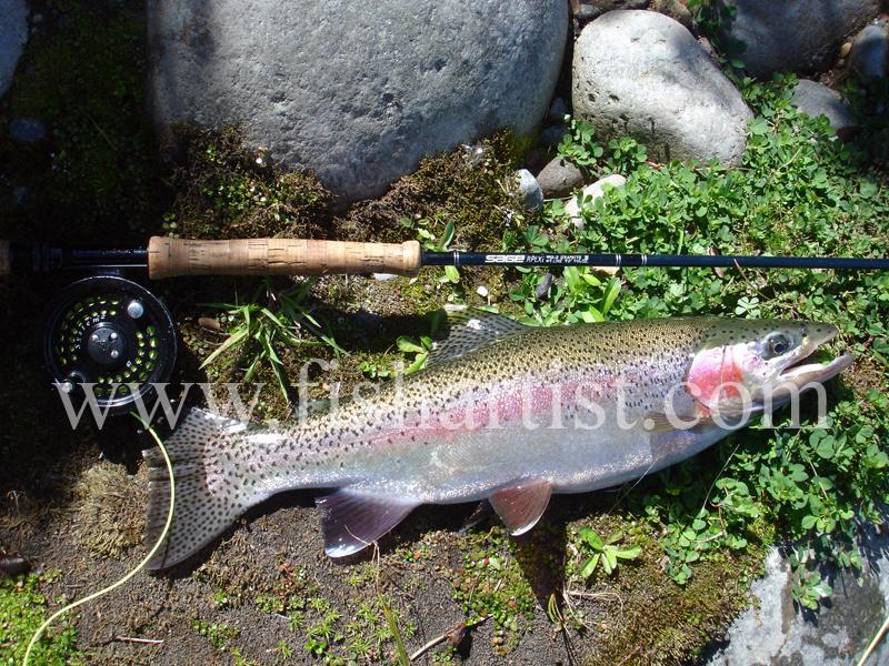 Summer Tongariro Trout. - Trout of the Tongariro River.