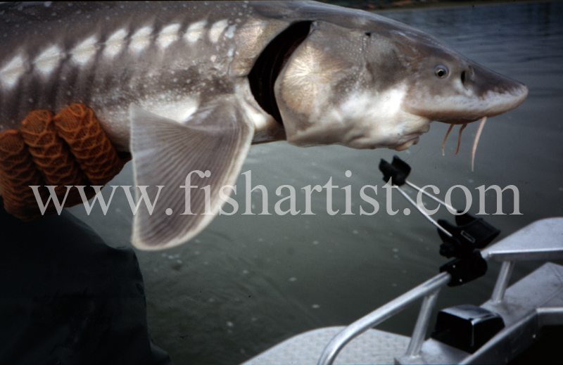 Sturgeon Mouth. - Sturgeon of the Fraser River.