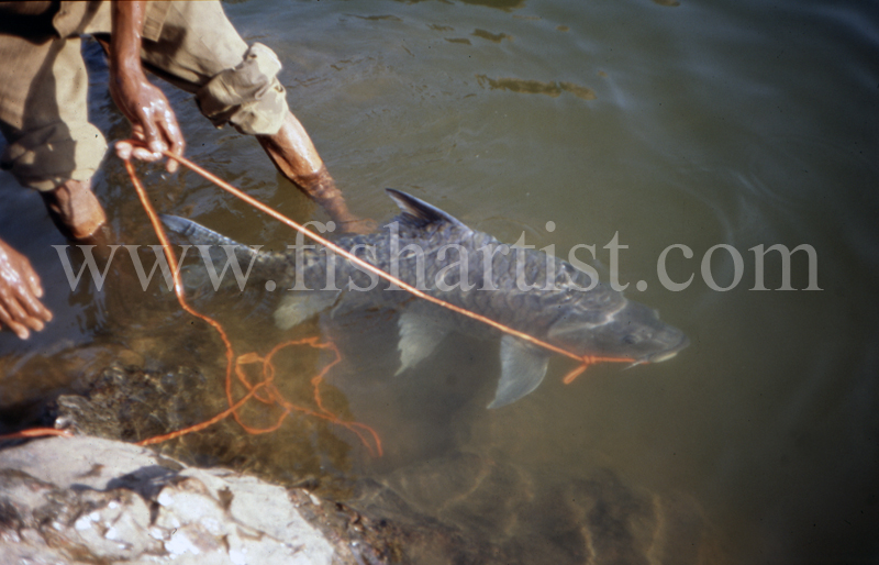 Tethered Silver Mahseer. - Mahseer Fishing India.