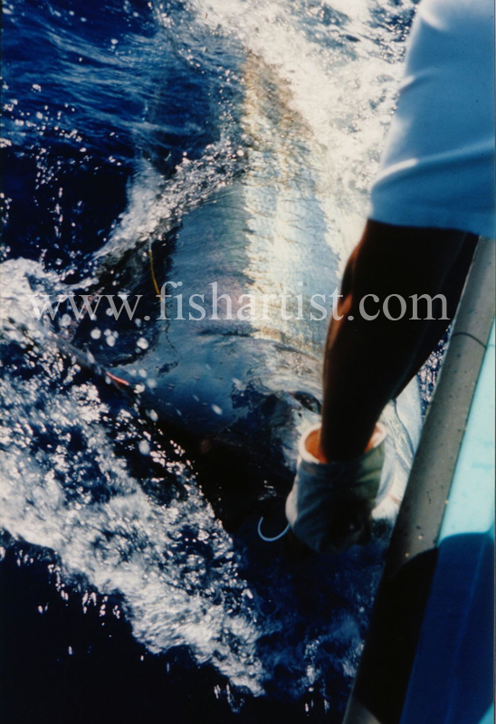 1000lb Blue Marlin. - Marlin Fishing.