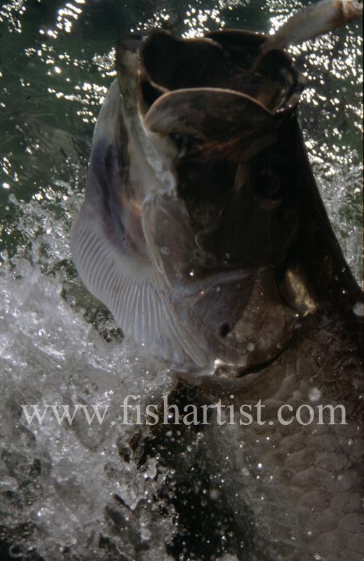 Leaping Tarpon - Bonefish & Tarpon.