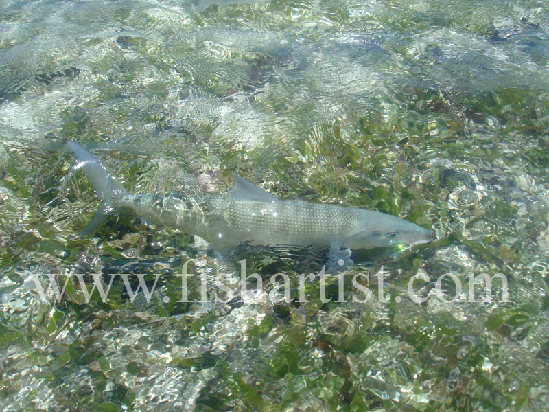 Bonefish Photo - Bonefish Beauty. - Bonefish & Tarpon.