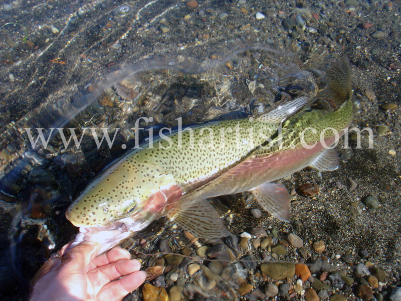 Closeup trout. - Trout Fishing - Taupo New Zealand.