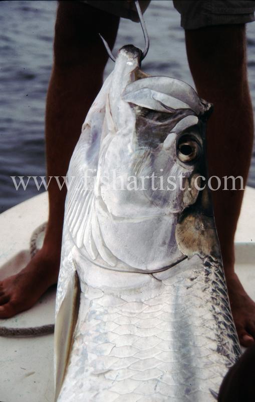 Gaffed Tarpon. - Bonefish & Tarpon.