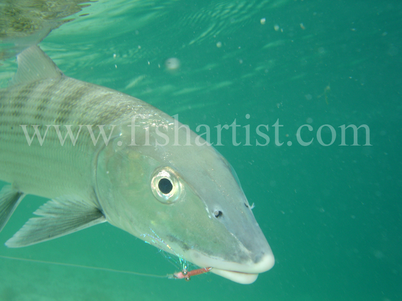 Bonefish Photo - Underwater Hook Up. - Bonefish & Tarpon.