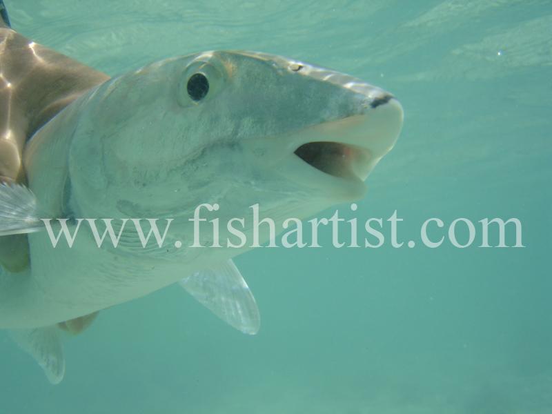Bonefish Photo - Underwater Release. - Bonefish & Tarpon.