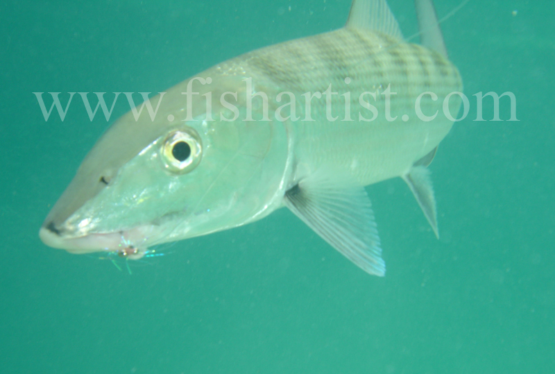 Bonefish Photo - In the Blue. - Bonefish & Tarpon.