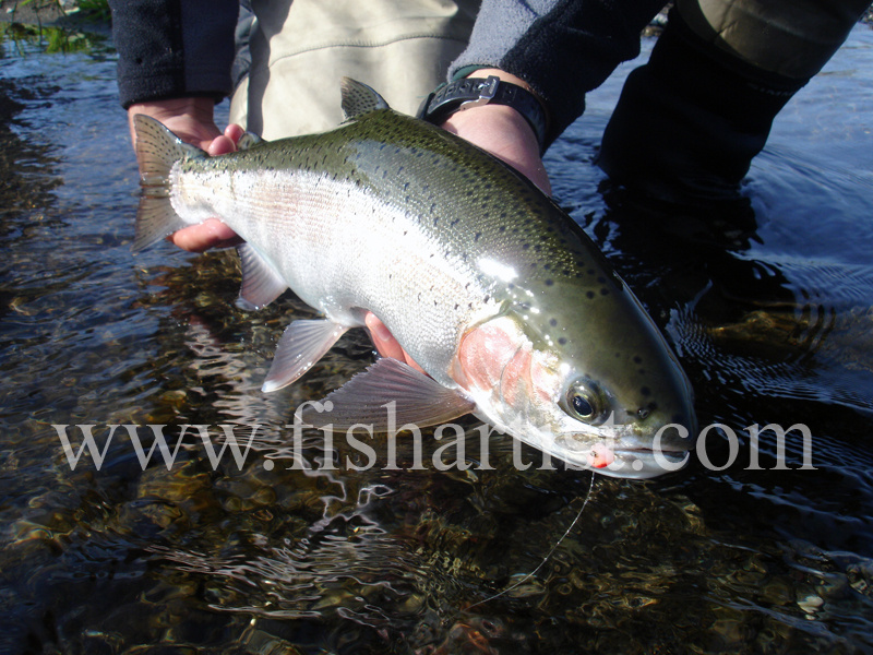 Glo Bug Caught Hen. - Trout Fishing - Taupo New Zealand.