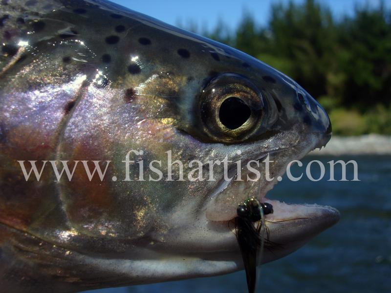 Rainbow Trout Head. - Trout of the Tongariro River.