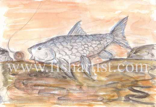 Silver Mahseer. - Fish Art for Fishermen.