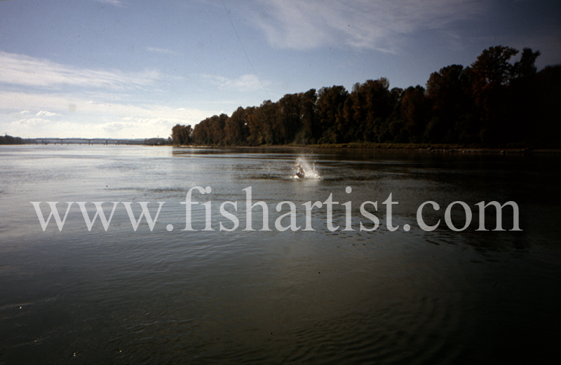 Leaping Sturgeon. - Sturgeon of the Fraser River.