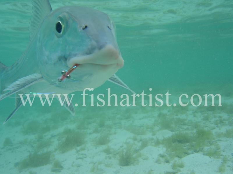 Bonefish Photo - Head on Underwater. - Bonefish & Tarpon.