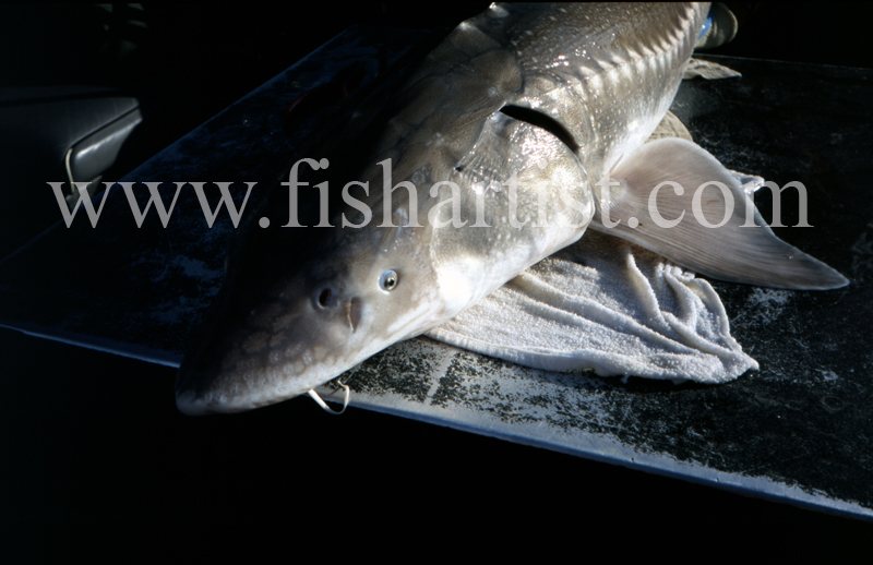 Sturgeon Closeup. - Sturgeon of the Fraser River.