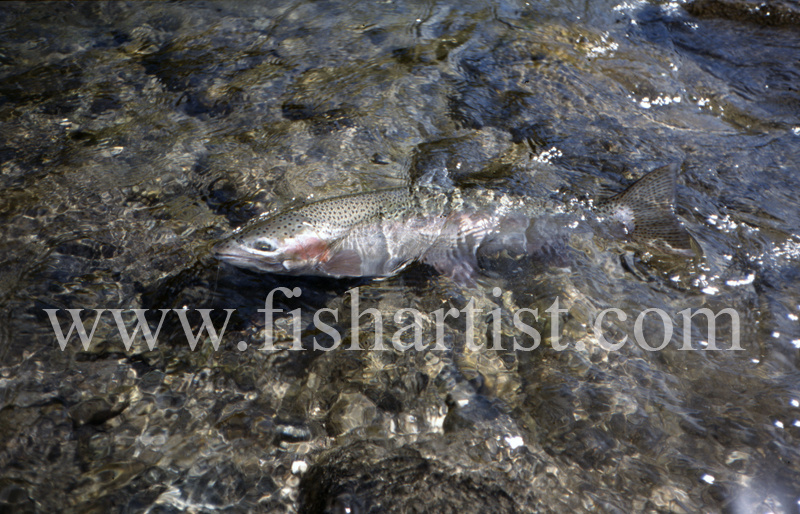 Tongariro Freedom. - Trout of the Tongariro River.