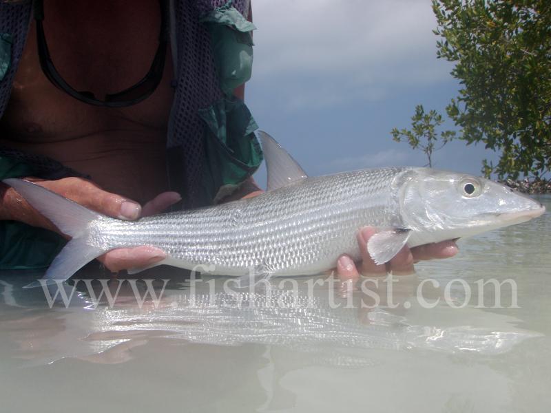 Bonefish Side On 2010. - Bonefishing 2010.