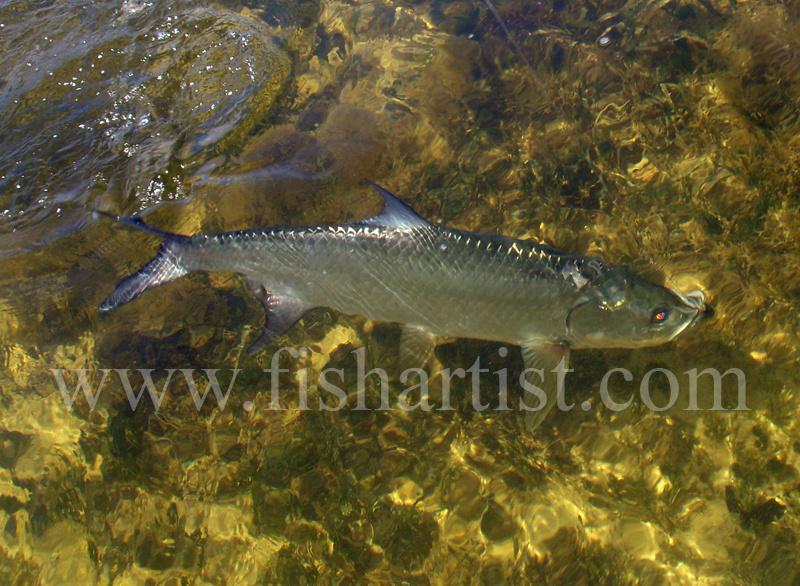 Swimming Tarpon. - Bonefish & Tarpon.