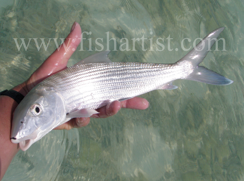 Baby Bonefish 2010. - Bonefishing 2010.