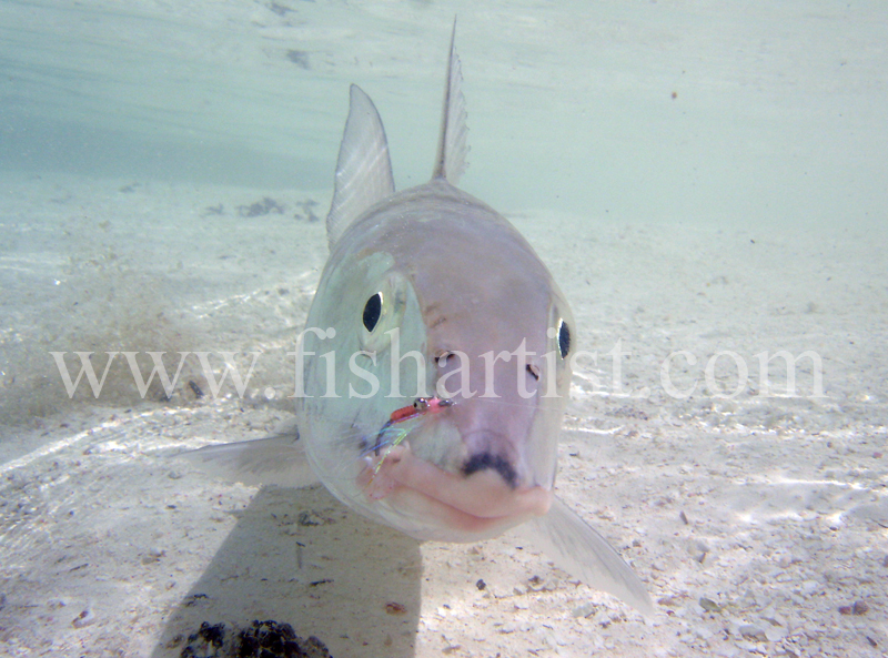 Bonefish Photo - Looking at You. - Bonefish & Tarpon.