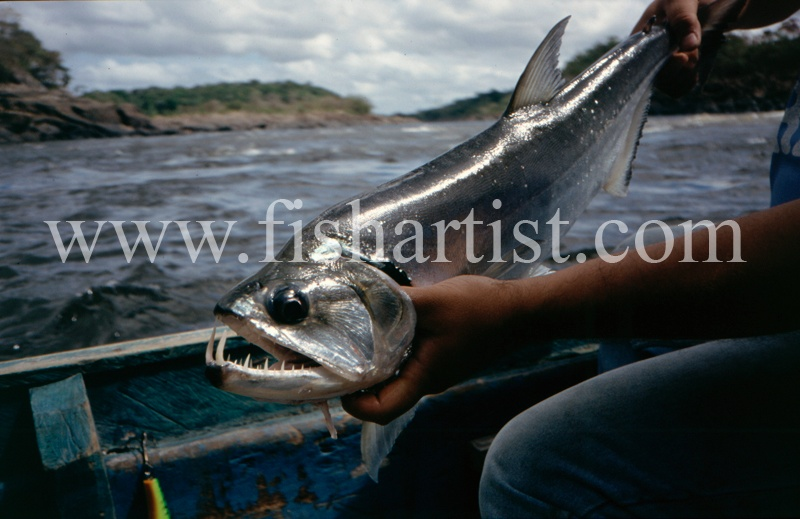 - Payara of the Amazon Rivers.