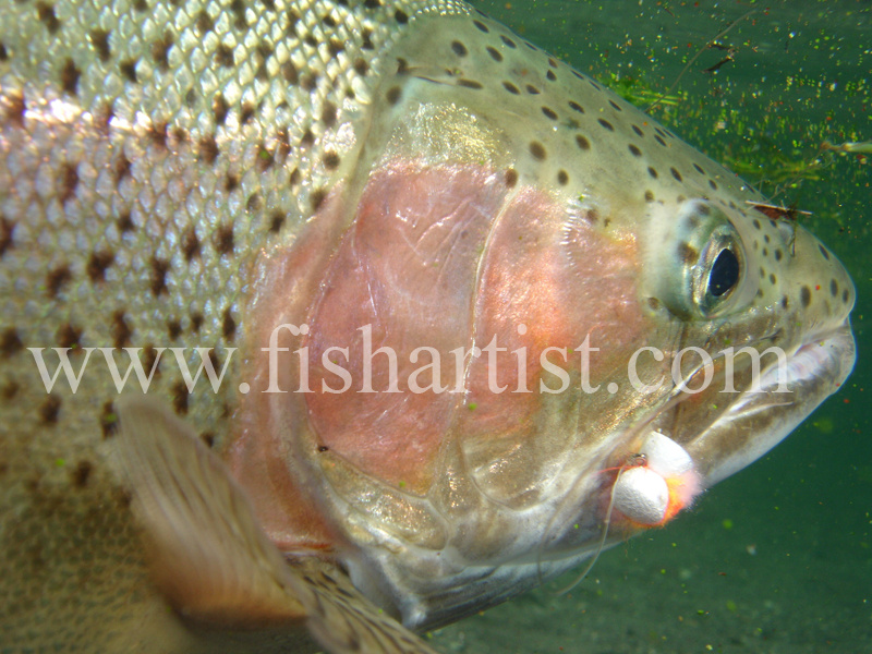 Underwater Trout. - Trout Fishing - Taupo New Zealand.