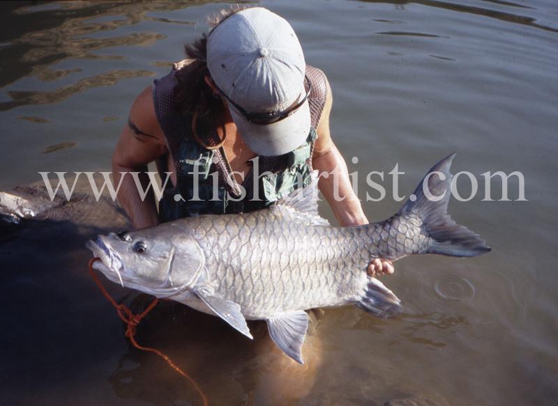 40lb Silver Mahseer. - Mahseer Fishing India.
