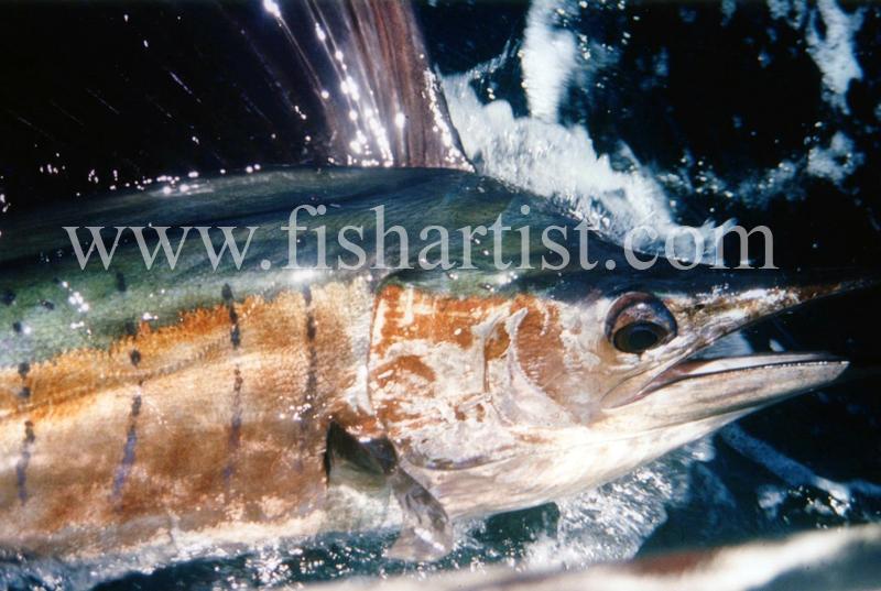 Sailfish Closeup. - Marlin Fishing.