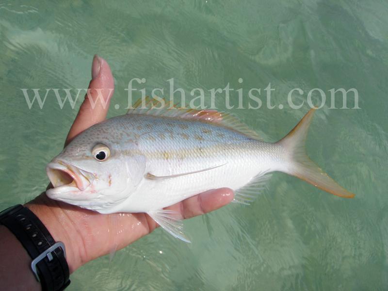 Yellowtail 2010. - Bonefishing 2010.